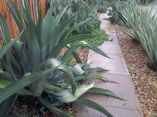 "GREY AGAVE ""WEBERS"""