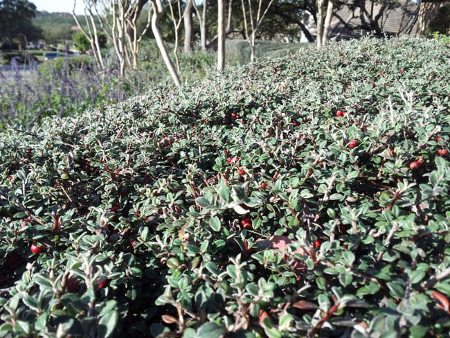 GRAY LEAF COTONEASTER