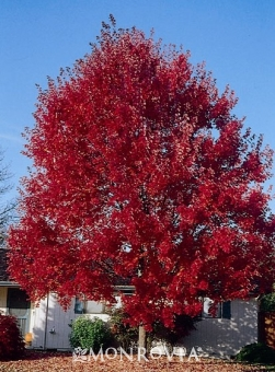 SUMMER RED RED MAPLE
