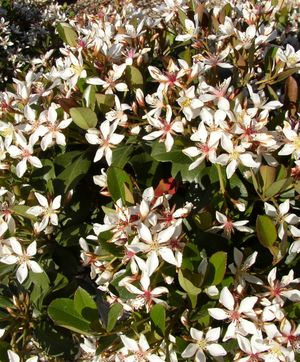 CLARA INDIAN HAWTHORNE