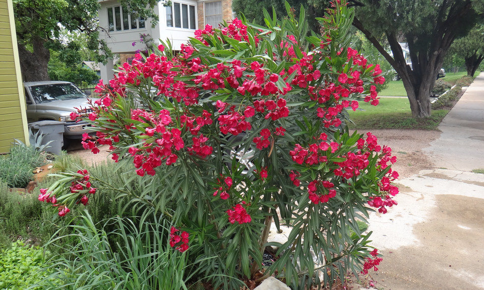 OLEANDER – HARDY RED